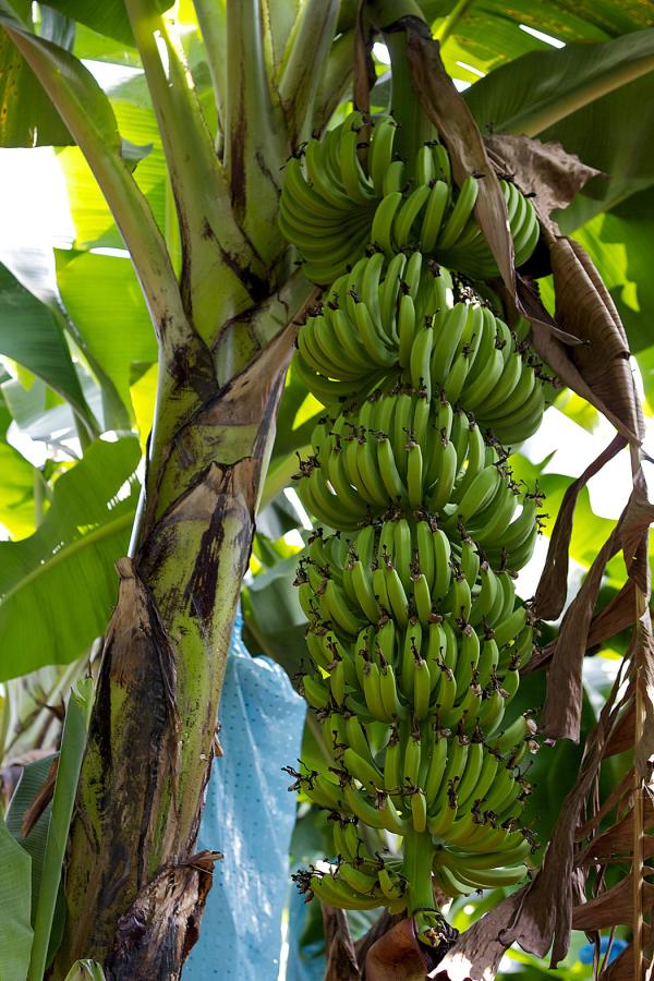 Wszystko Czego Nie Chcielibyście Wiedzieć O Bananach Banan Znika